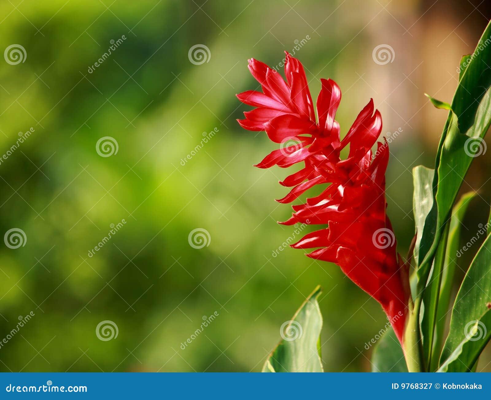 Roter Ingwer Im Garten Stockbild Bild Von Botanisch Grow 9768327
