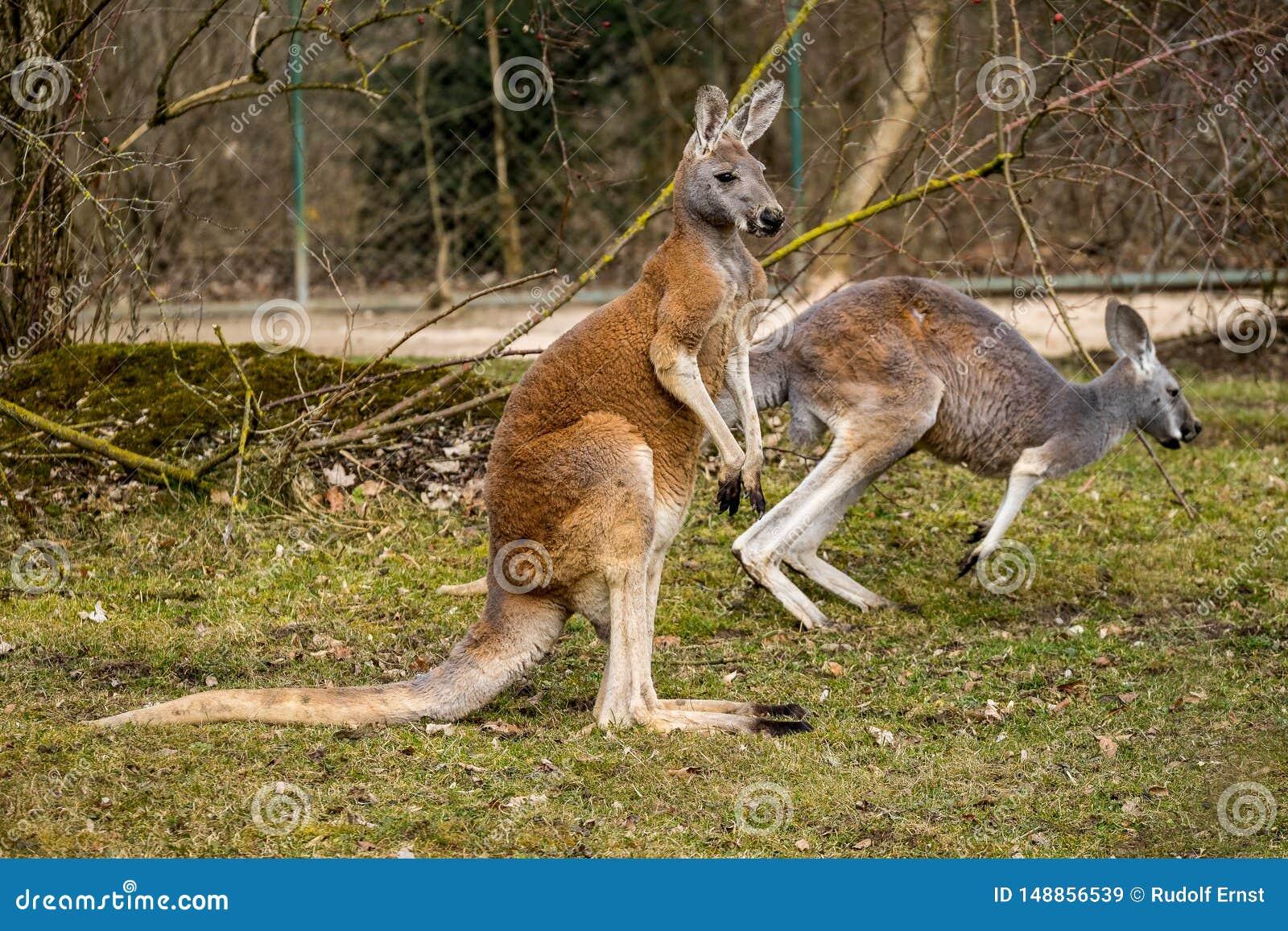 Roter K?nguru, Macropus rufus in einem deutschen Zoo