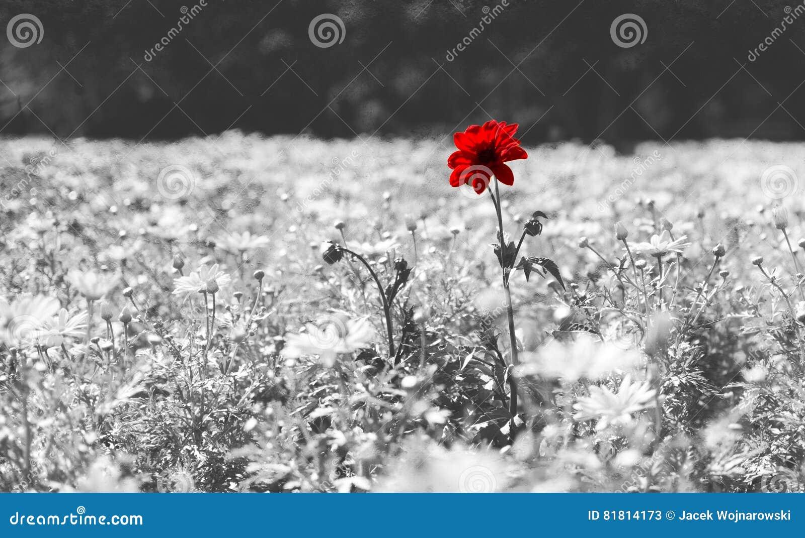 Roter Poppy Flower On Black And Wei Hintergrund Stockbild Bild