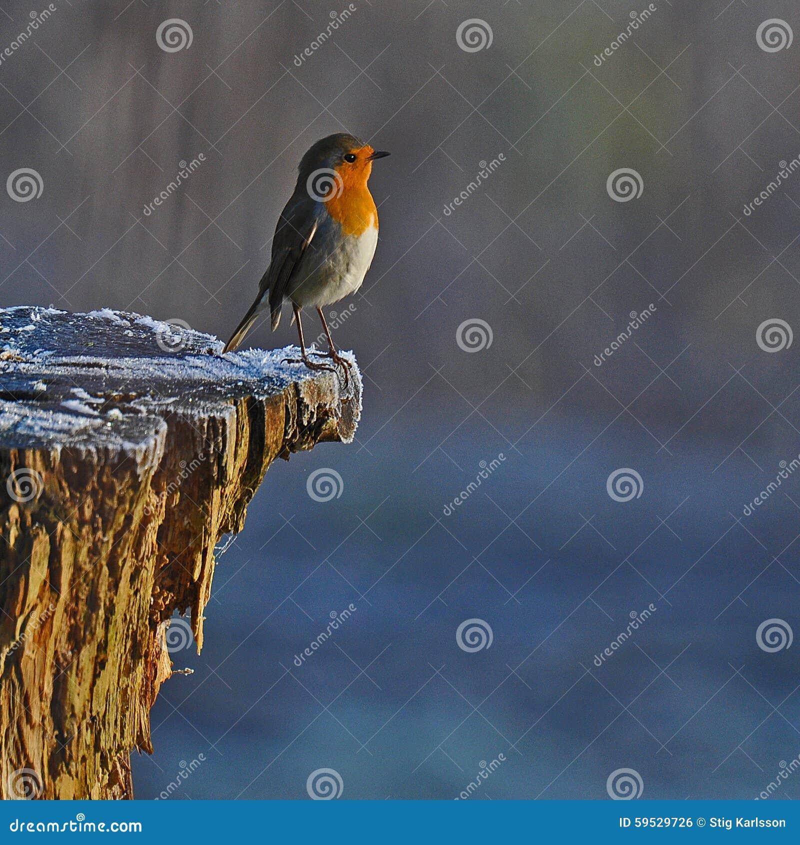 Roter Robin im weißen Winter