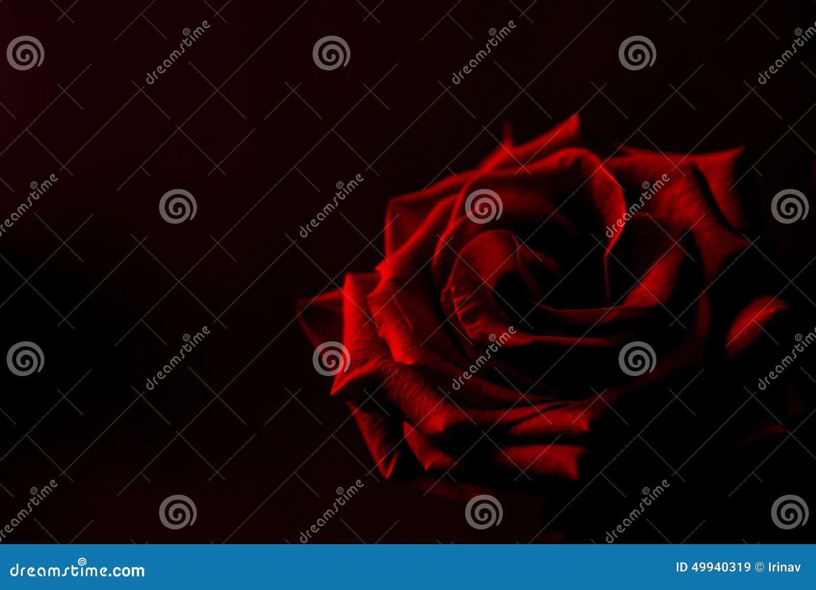 roter rosen schwarzer hintergrund stockfoto bild 49940319. Black Bedroom Furniture Sets. Home Design Ideas