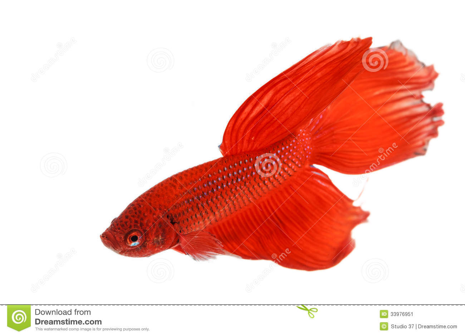 Roter siamesischer kampffisch stockbild bild 33976951 for Siamesischer kampffisch