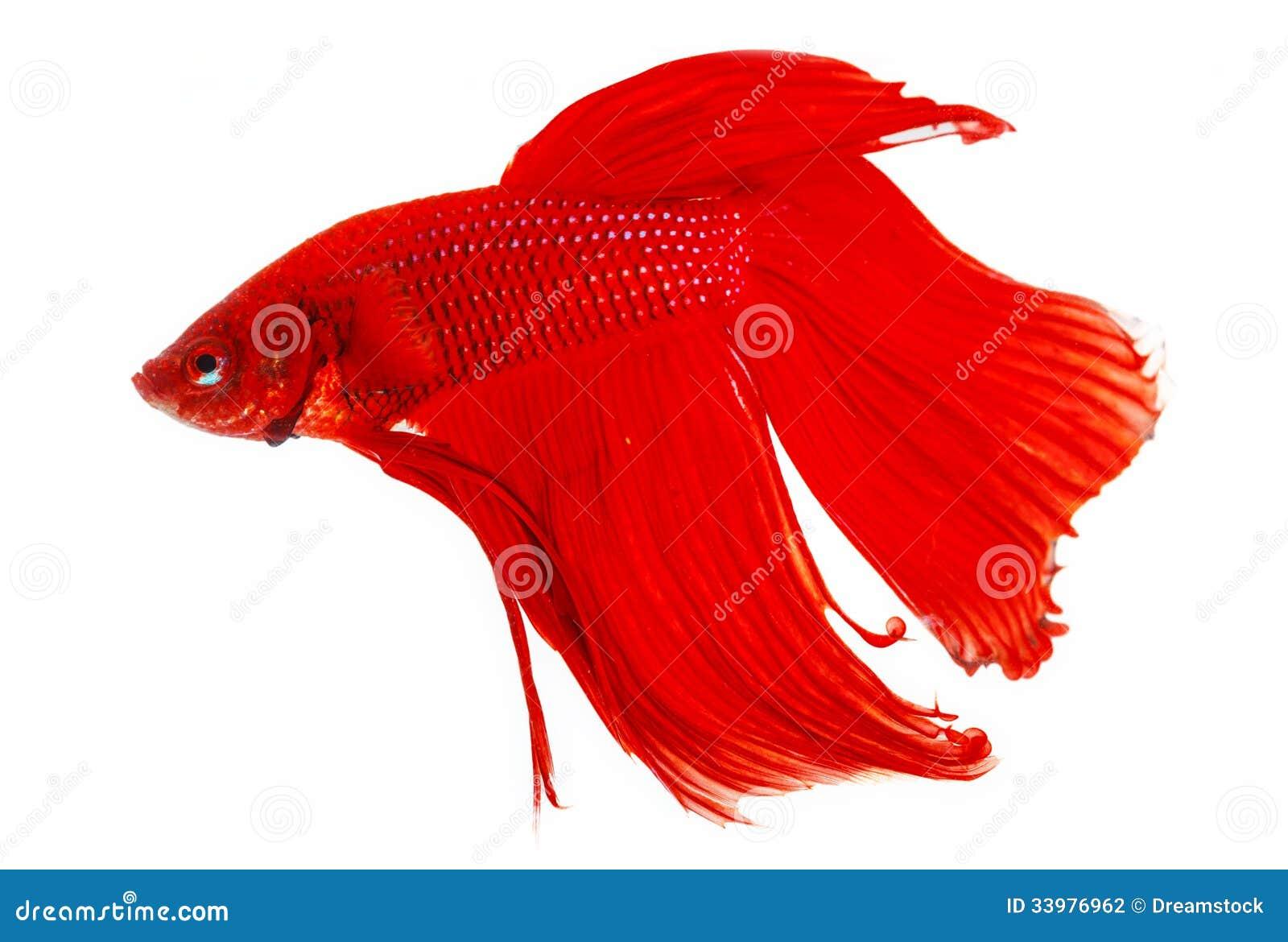 Roter siamesischer kampffisch stockfotografie bild 33976962 for Siamesischer kampffisch