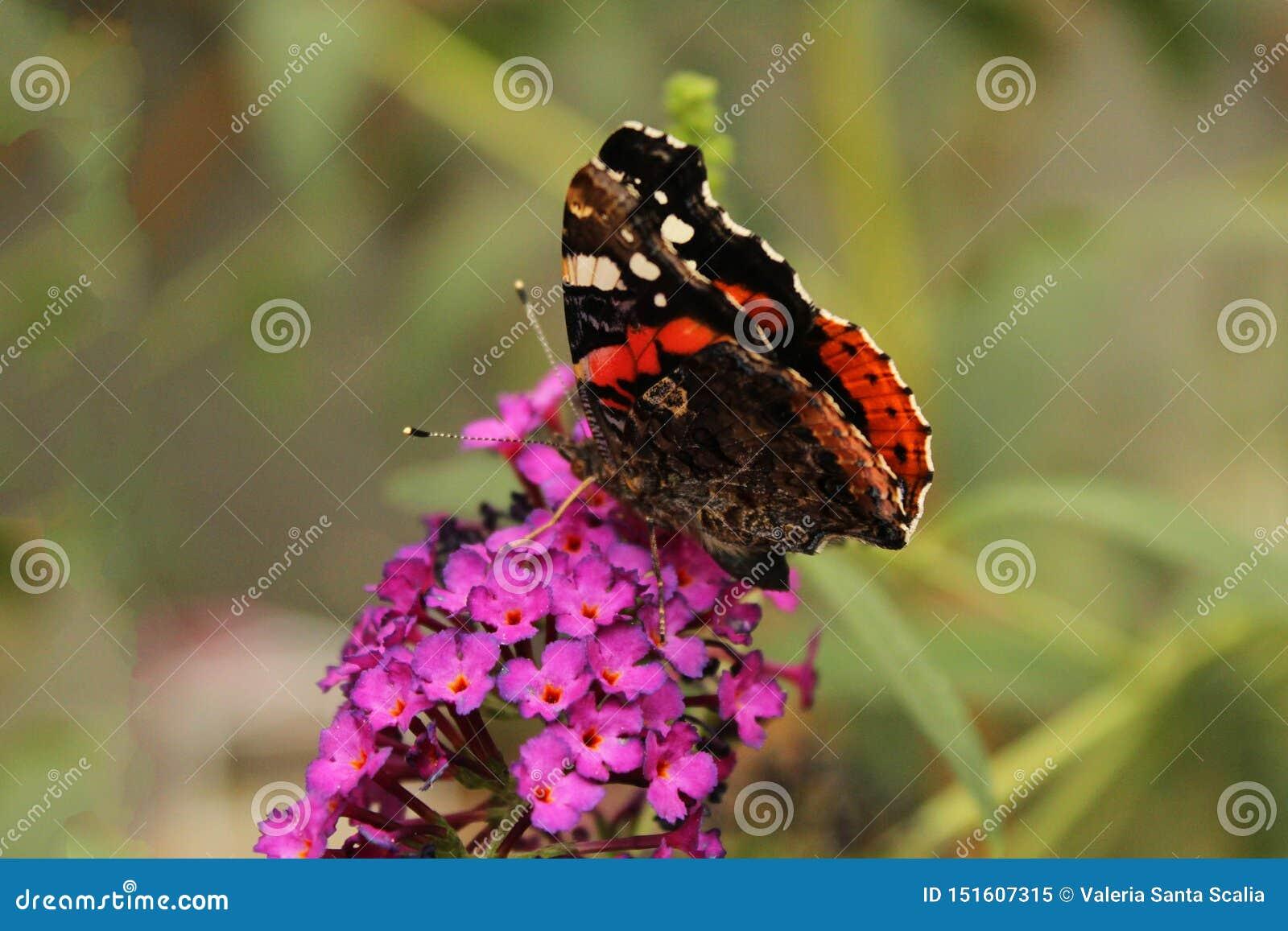 Roter und brauner Schmetterling über schönen purpurroten Blumen
