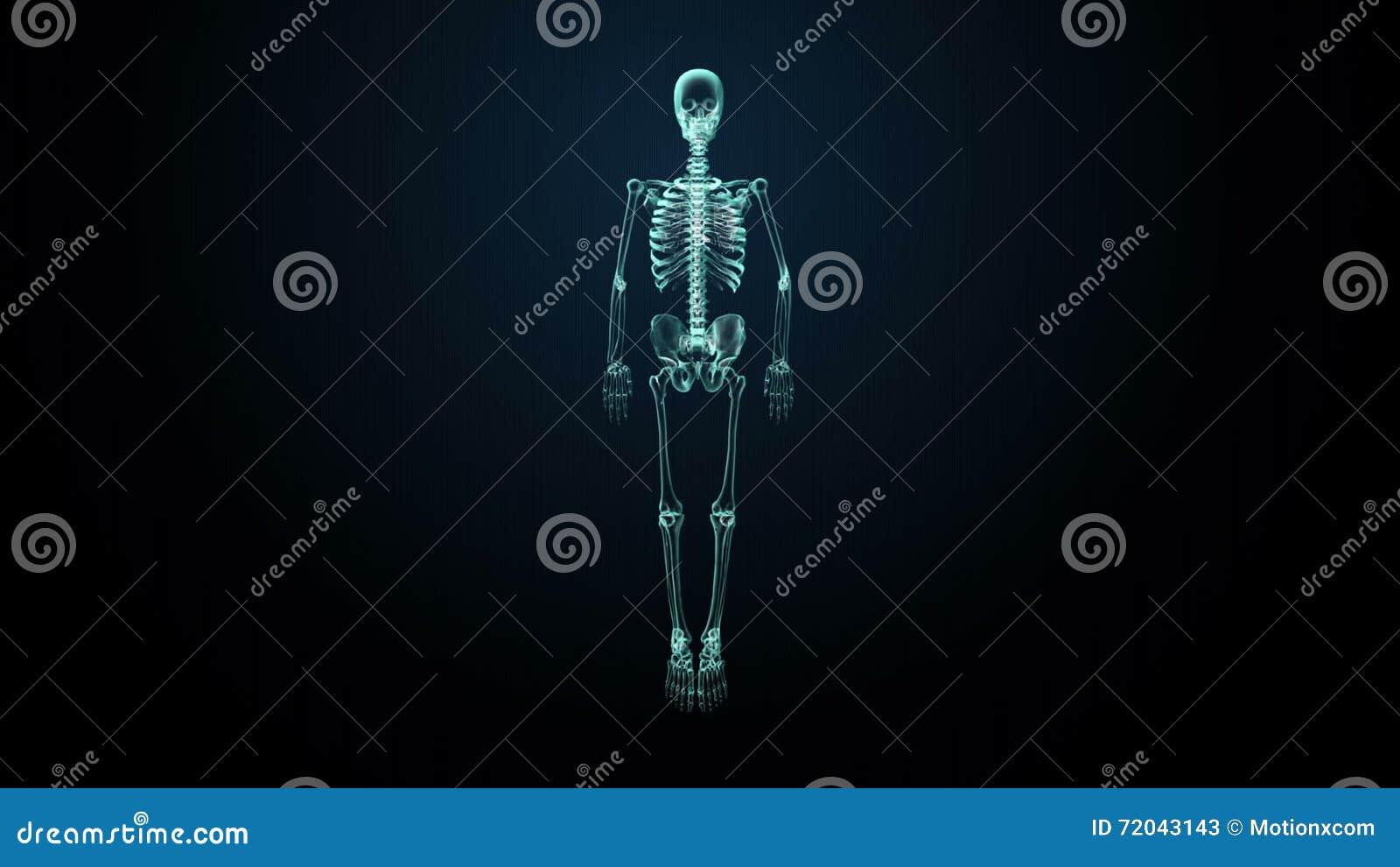 Roterande Mänsklig Skelett- Struktur, Bensystem, Bild För ...