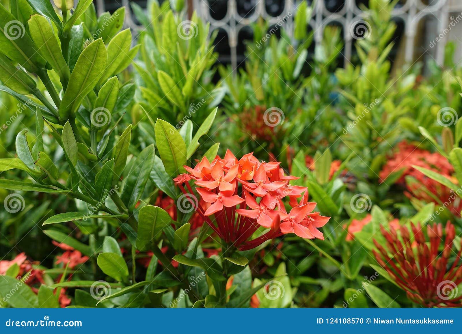 Rotes Bündel ixora, kleiner Blumenstrauß von Blumen