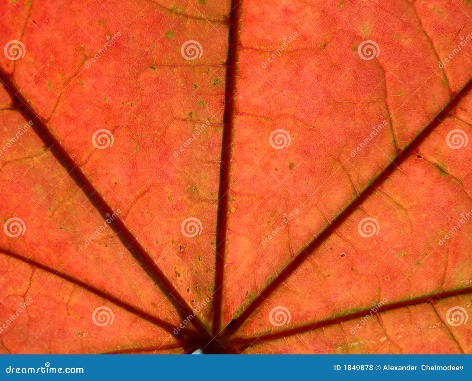 Rotes Blatt des Ahornholzes