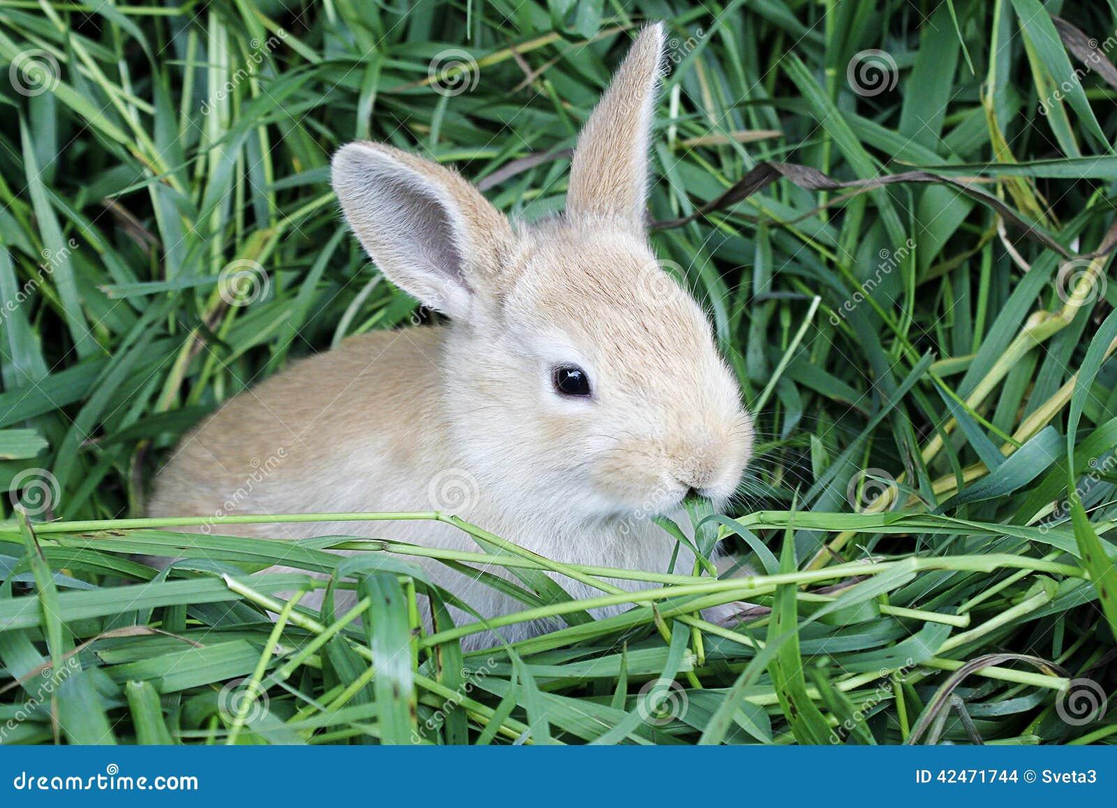 Rotes Kaninchengras im Mund