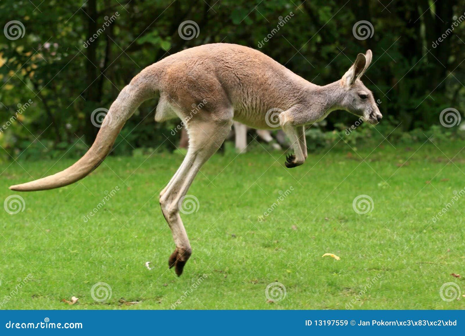 känguru sprung