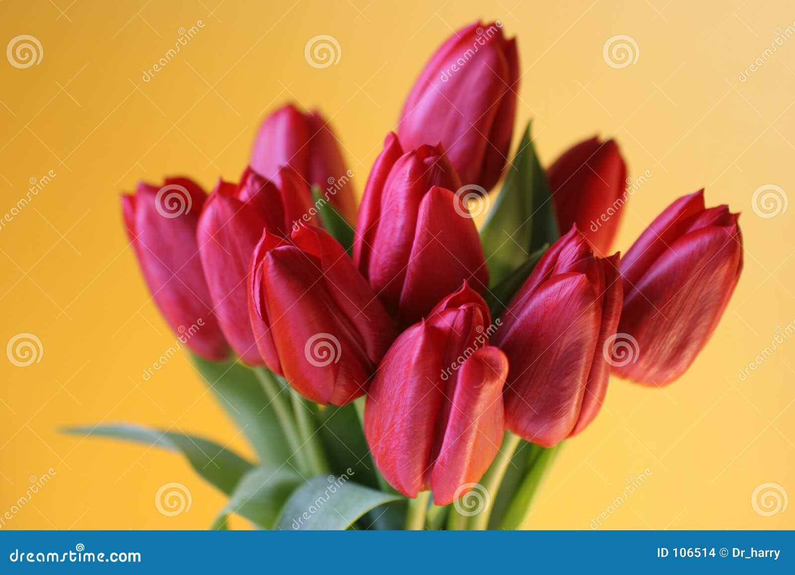 Rotes Tulpebündel auf Gelb