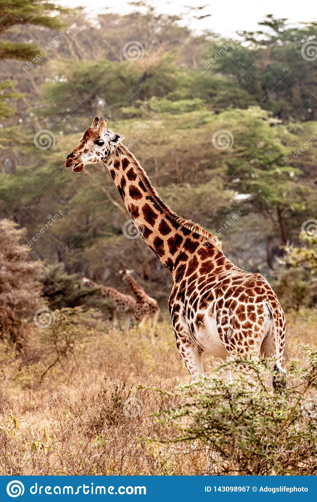 Rothschild giraff i sjön Nakuru