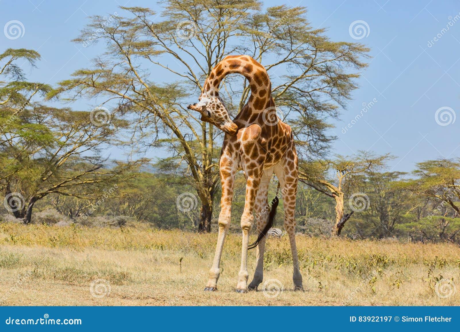 Rothschild girafformmänniska