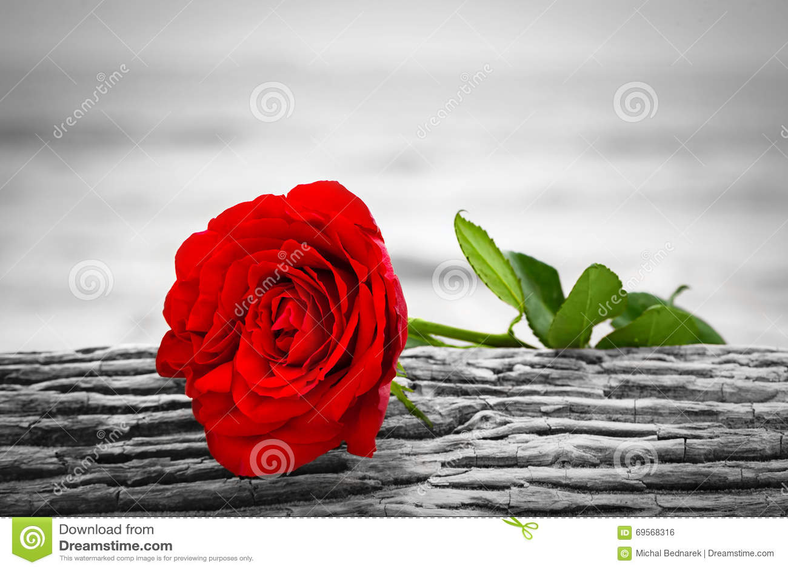 rotrose auf dem strand farbe gegen schwarzweiss liebe romance melancholische konzepte. Black Bedroom Furniture Sets. Home Design Ideas