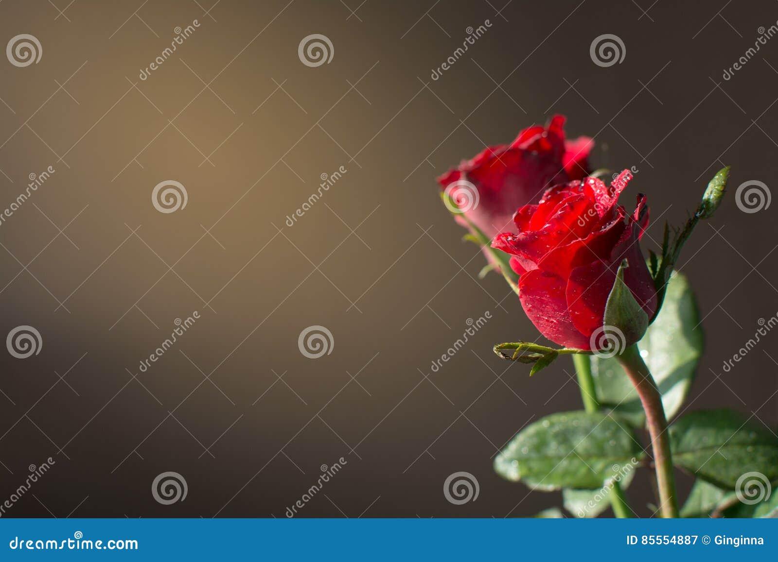 Rotrose und Sonnenlicht