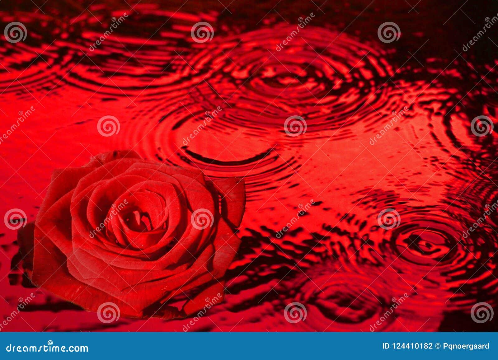 Rotrose, wenn rotes Wasser getropft wird