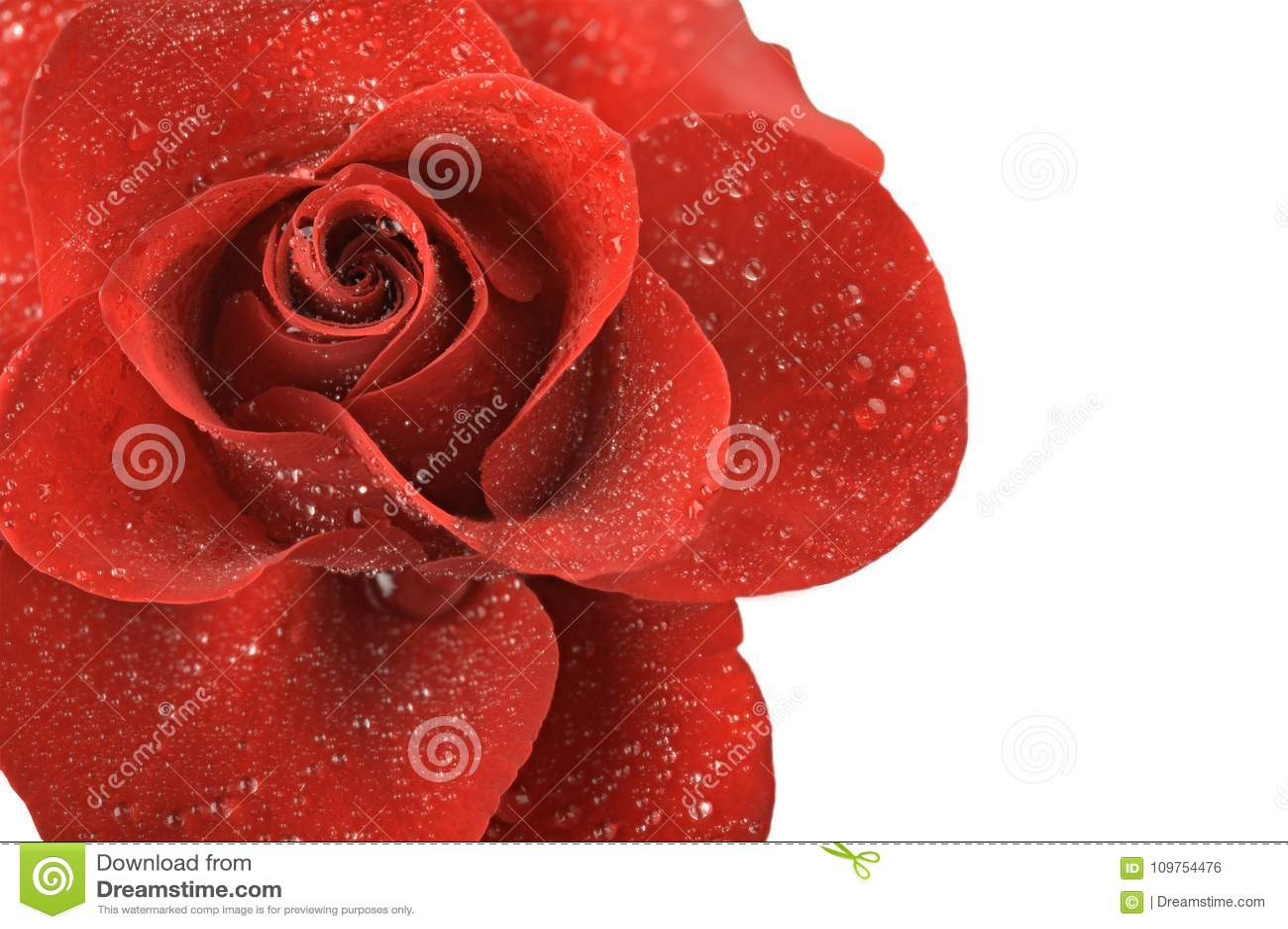 Rotrosenblume mit den Tropfen des Taus lokalisiert auf weißem Hintergrund