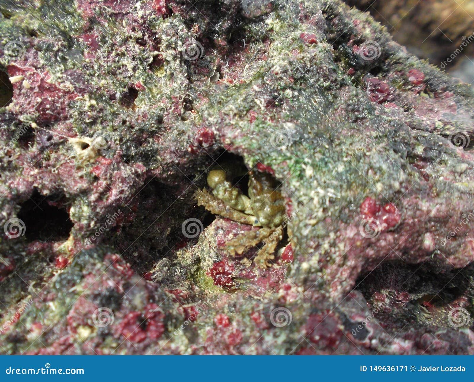 Rotskrab typisch van playacaldera/Venezuela van islatortuga