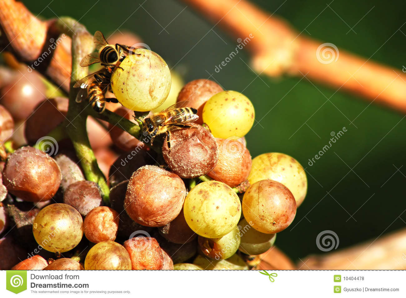 Noble rot - Wikipedia