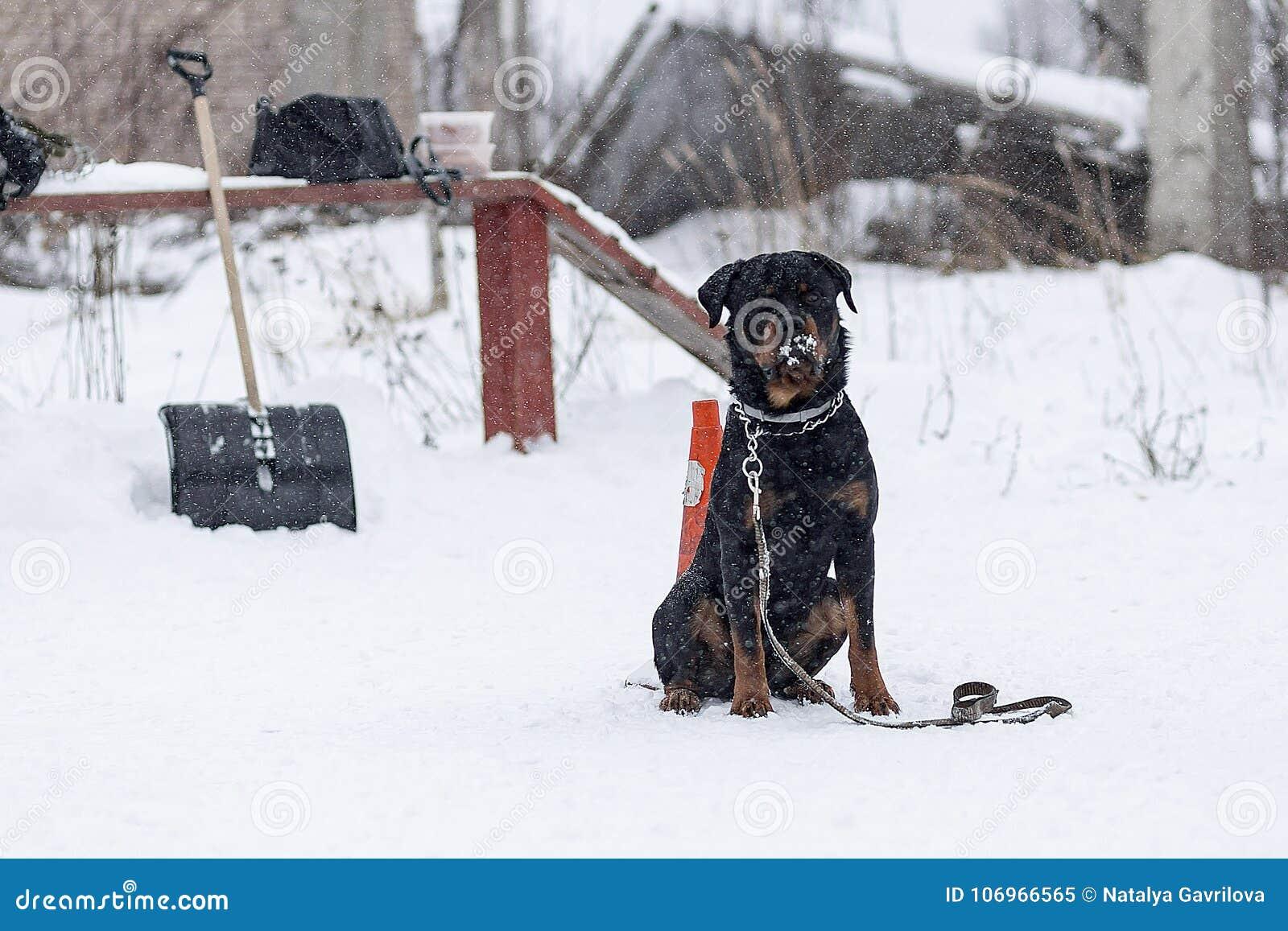 Rottweiler冬天走