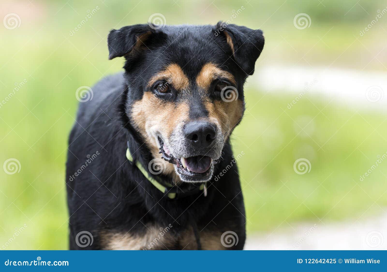 Rottweiler牧羊人混合了品种狗外面在皮带