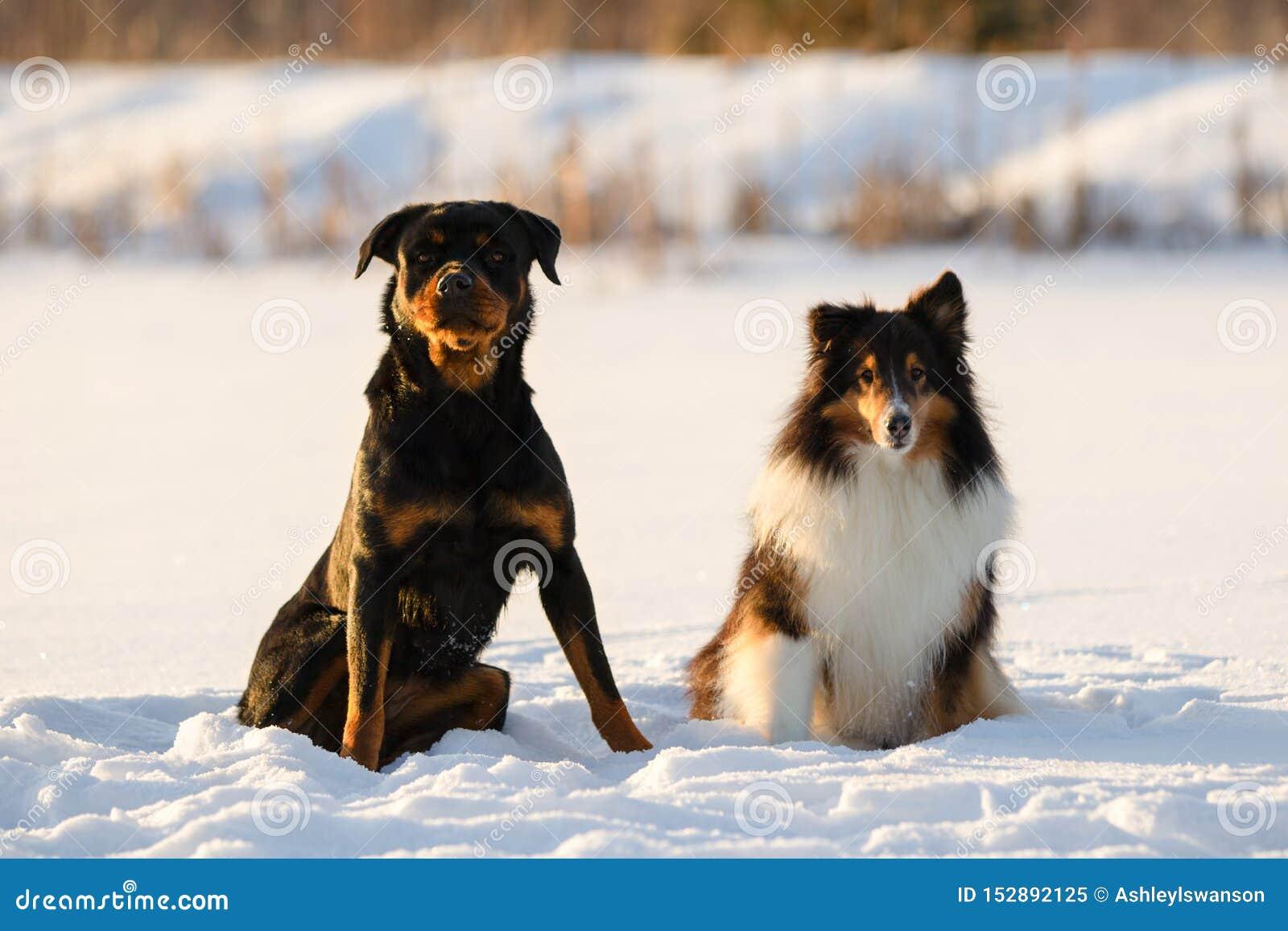 Rottweiler και συνεδρίαση τσοπανόσκυλων Shetland στο χιόνι το χειμώνα