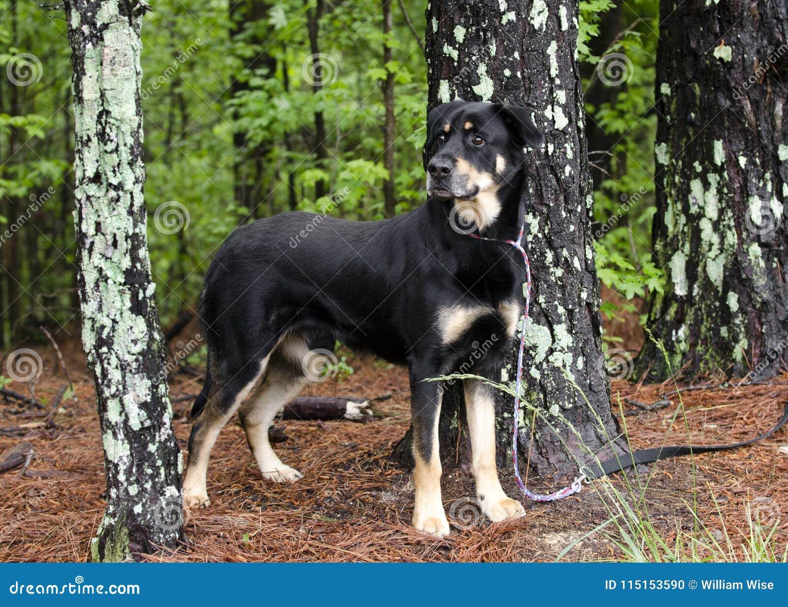 Rottweiler baca mieszał traken psią pozycję w drzewach na smyczu, zwierzę domowe adopci ratownicza fotografia