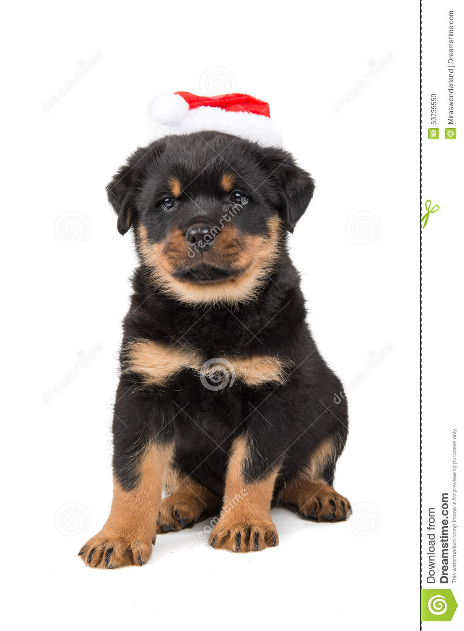 Rottweiler christmas puppy stock photo. Image of isolated - 53735550