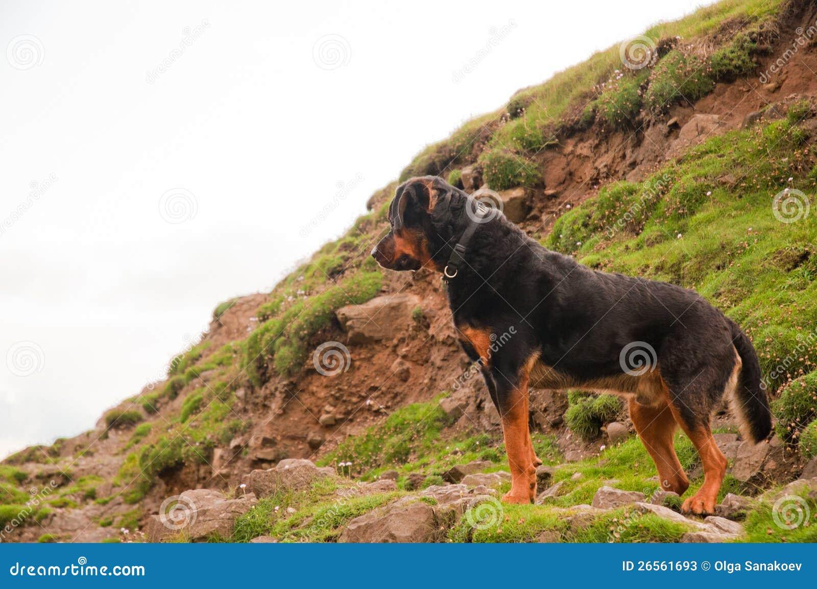 A Rottweiler Dog Calmly Standing On A Hill Stock Photos ...