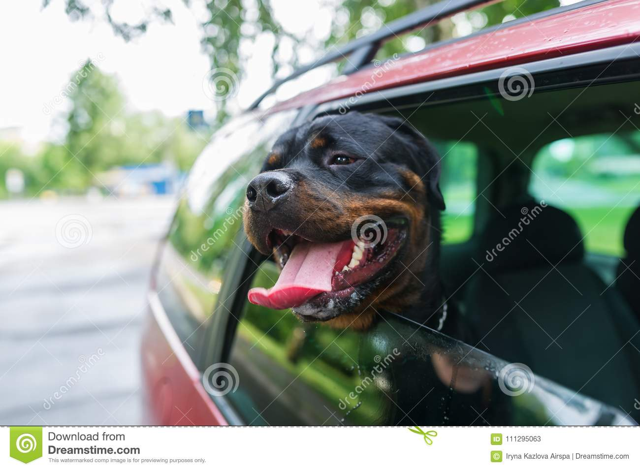 Rottweiler dog poking their head out the window of a car