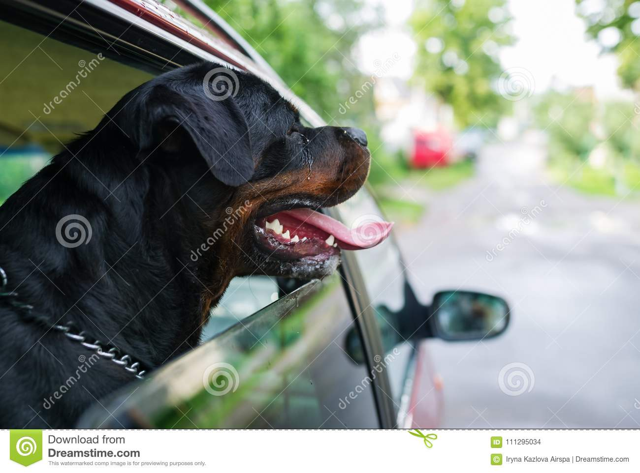 Rottweiler dog sit in the car and looks out of the window