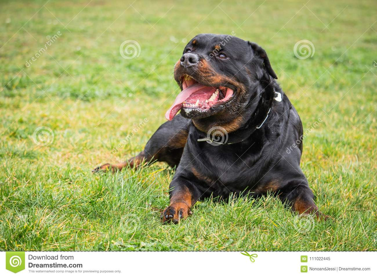 Rottweiler Dog That Watches And Waits For His Master`s Orders While Lying  Down Stock Image - Image of dogs, friend: 111022445