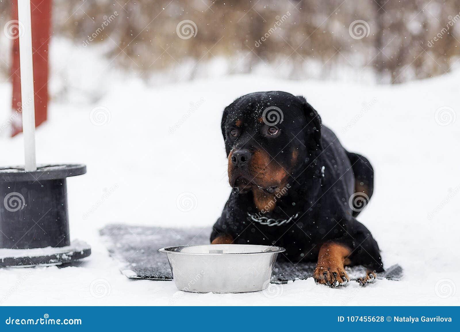 Rottweiler en un paseo