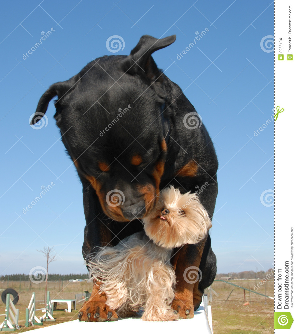Rottweiler Et Yorkshire Terrier Stock Photo Image - Terrier and rottweiler