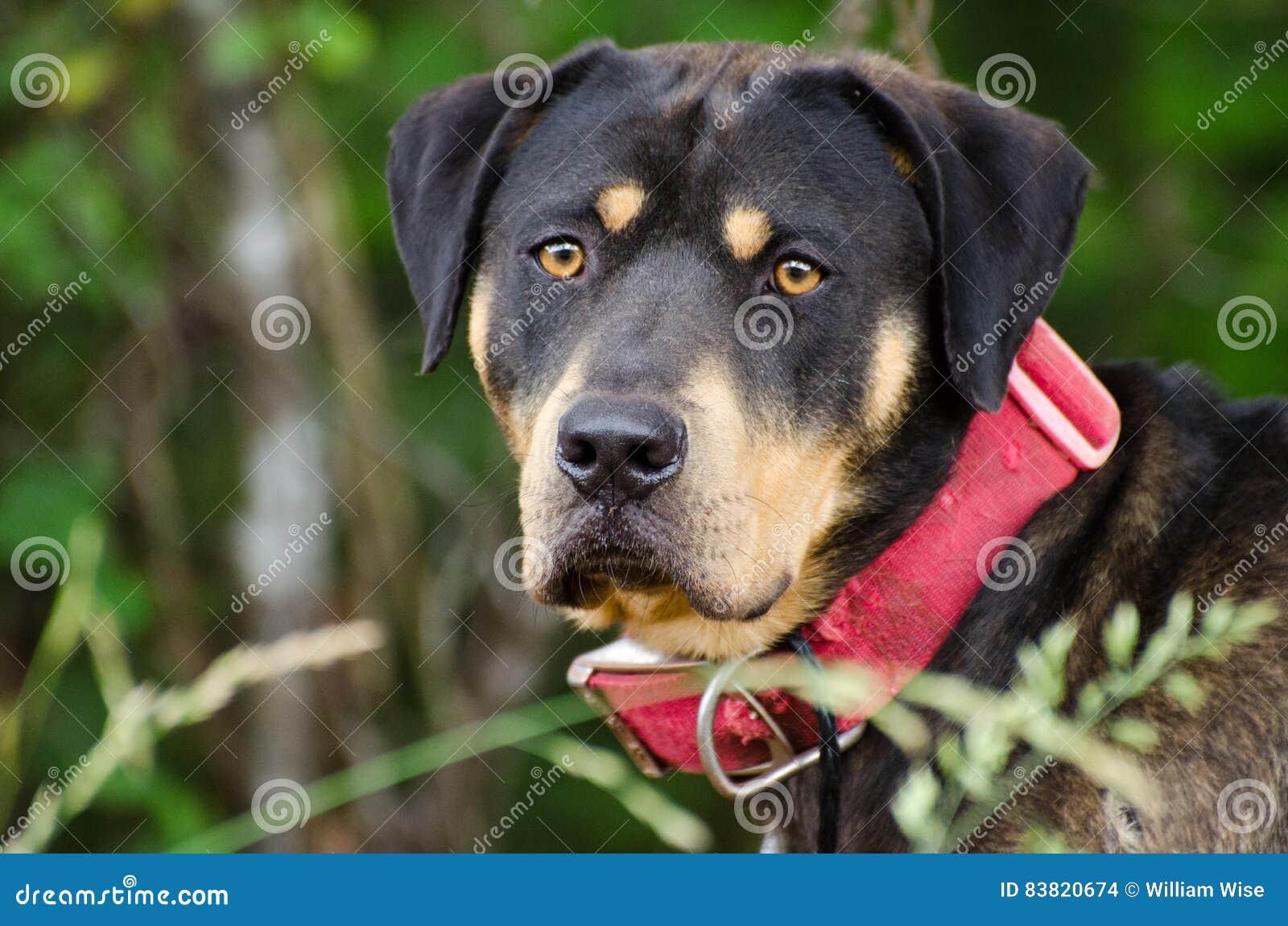 Rottweiler Mastiff Mixed Breed Dog Stock Photo Image Of Georgia