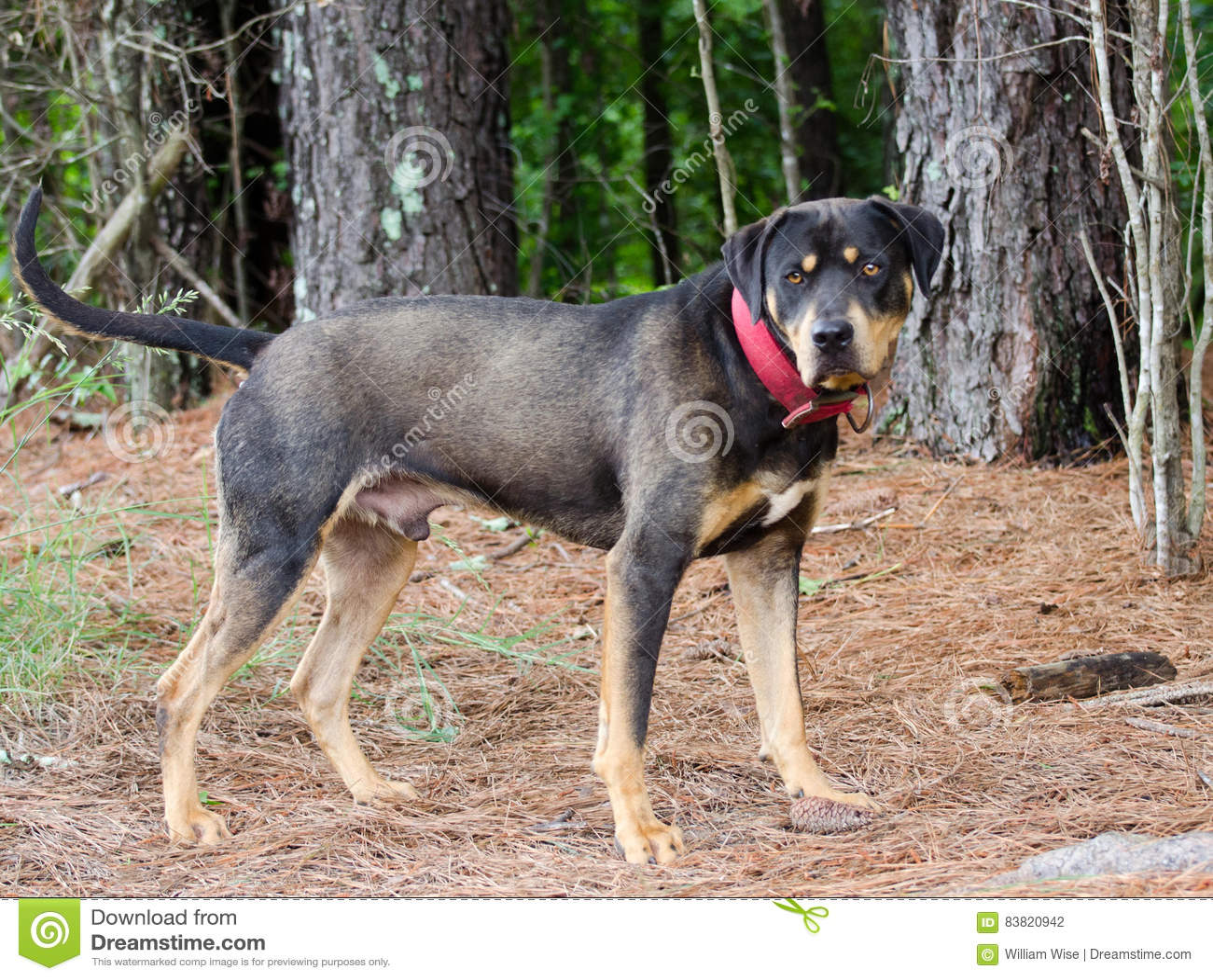 Rottweiler Mastiff Mixed Breed Dog Stock Photo Image Of Shelter