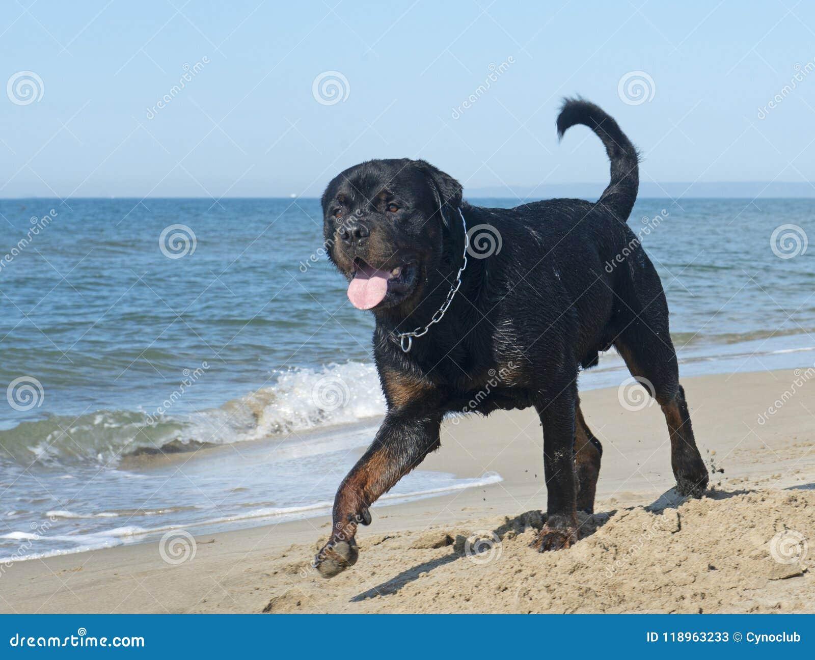 Rottweiler na plaży