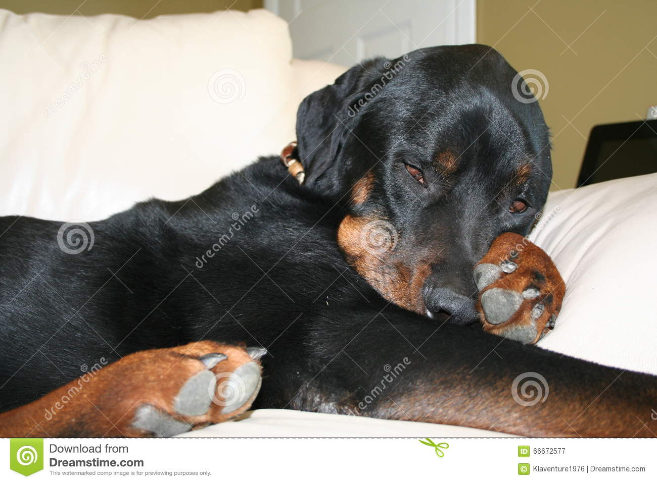 Rottweiler Napping On Couch Stock Image - Image of rottie