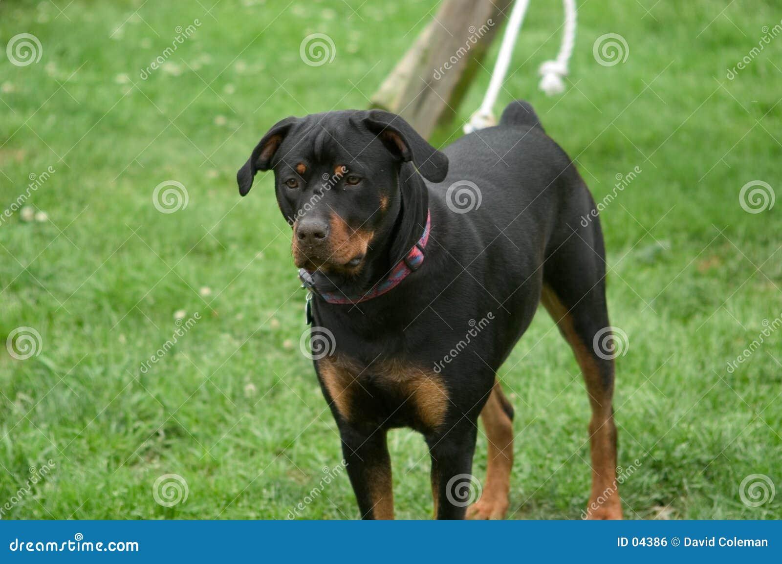 Rottweiler op een leiband