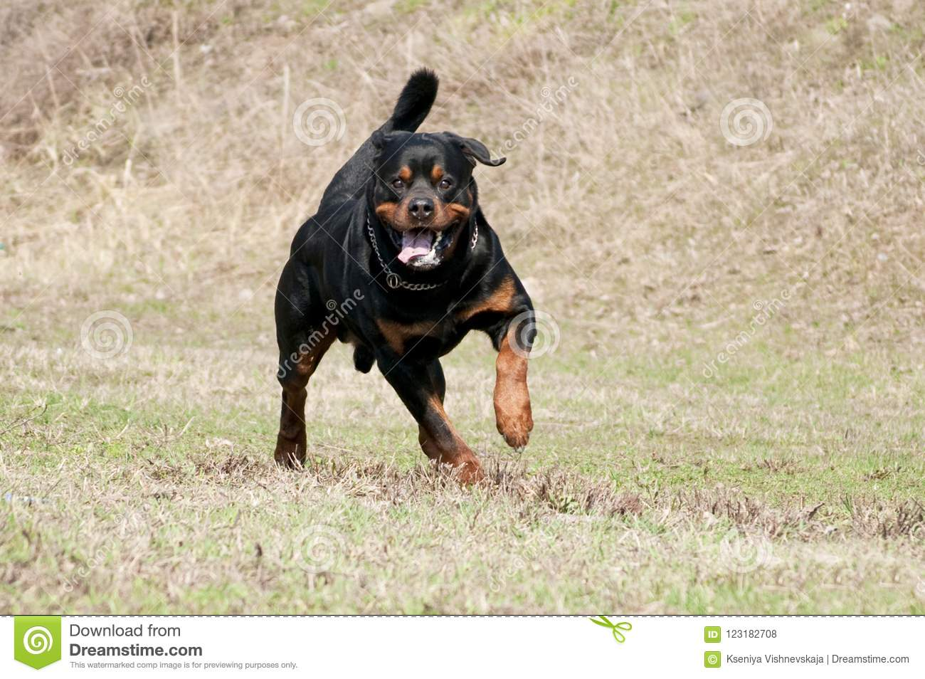 Rottweiler Running In Grass Stock Photo Image Of Frolicking