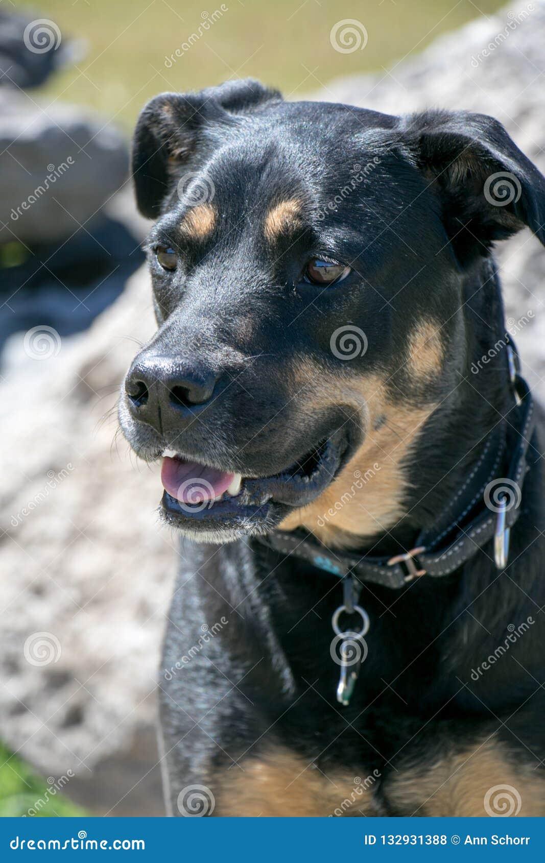 Rottweiler pies w lecie