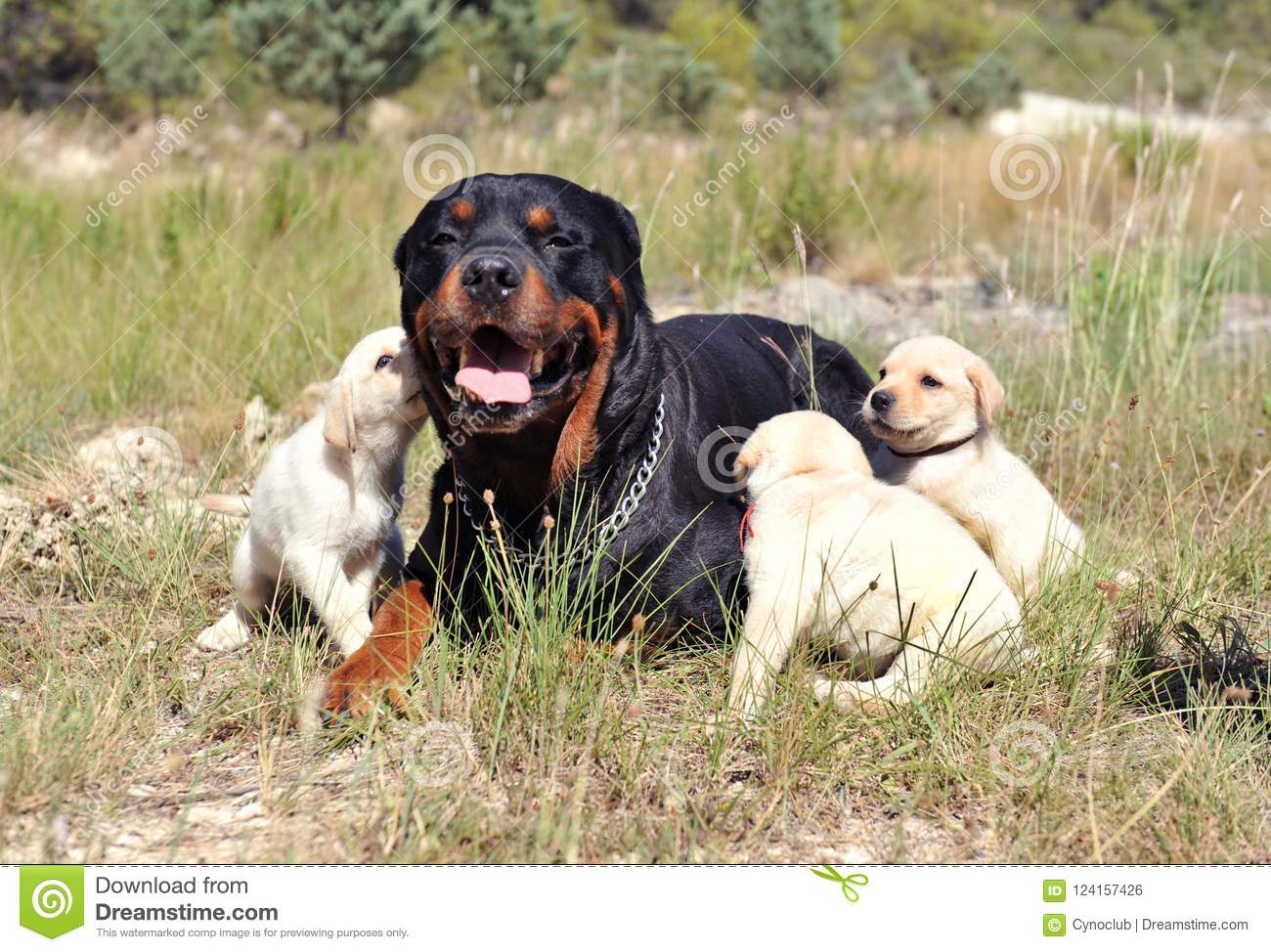 Rottweiler And Puppies Labrador Stock Photo Image Of Golden Baby