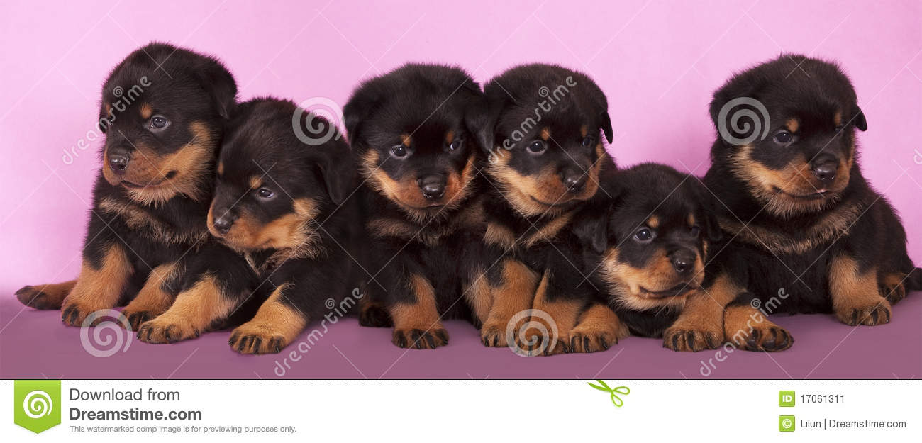 Rottweiler Puppy Stock Image Image Of Breed Baby Wool 17061311
