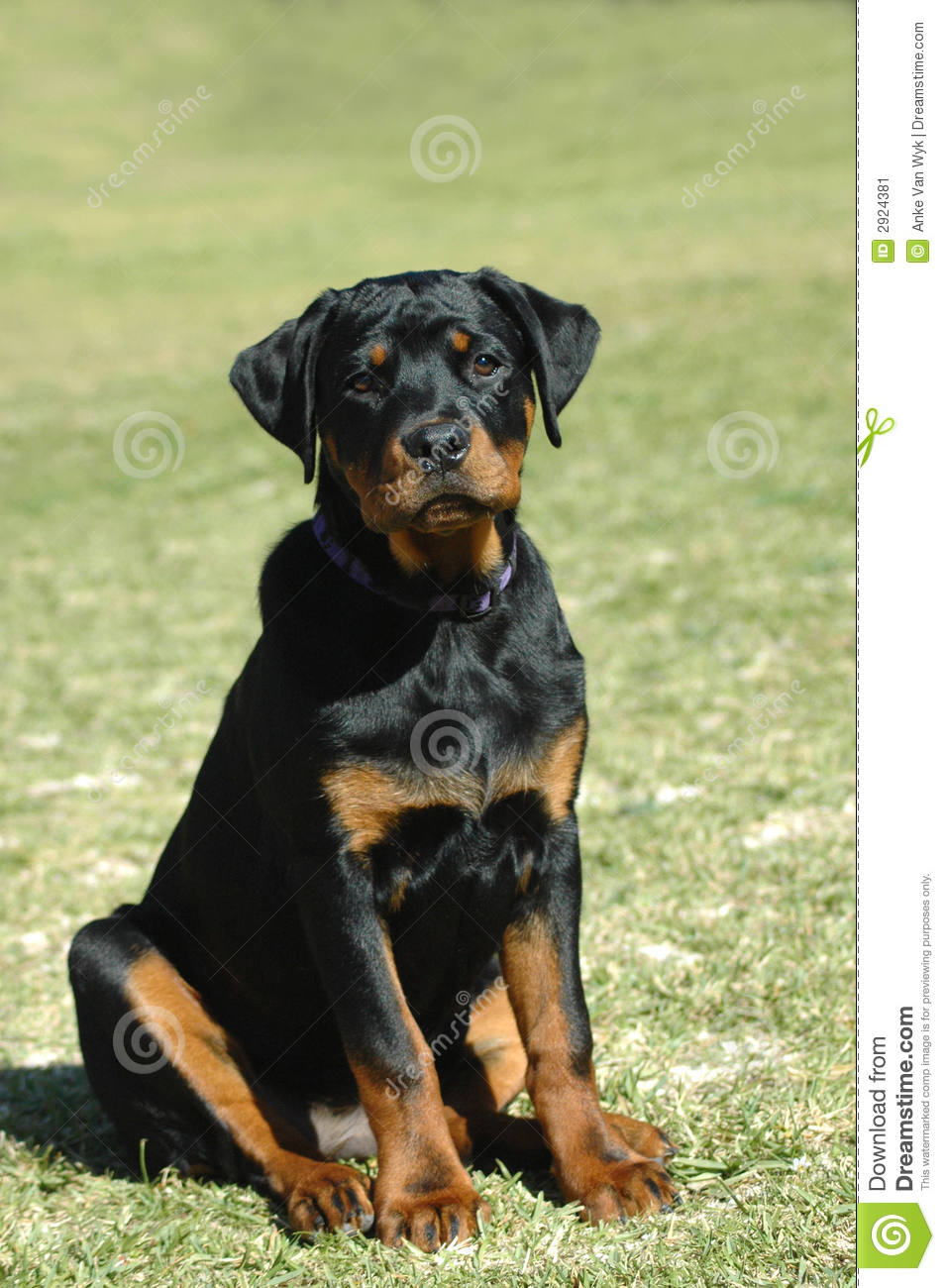 Rottweiler Puppy Stock Image Image Of Expressions Breed 2924381