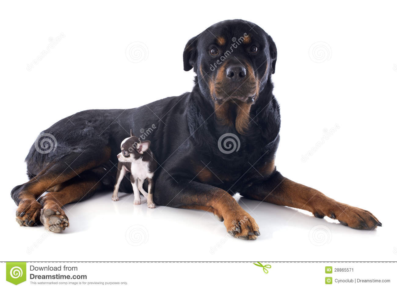 Chihuahua Rottweiler Related Keywords & Suggestions - Chihuahua ...