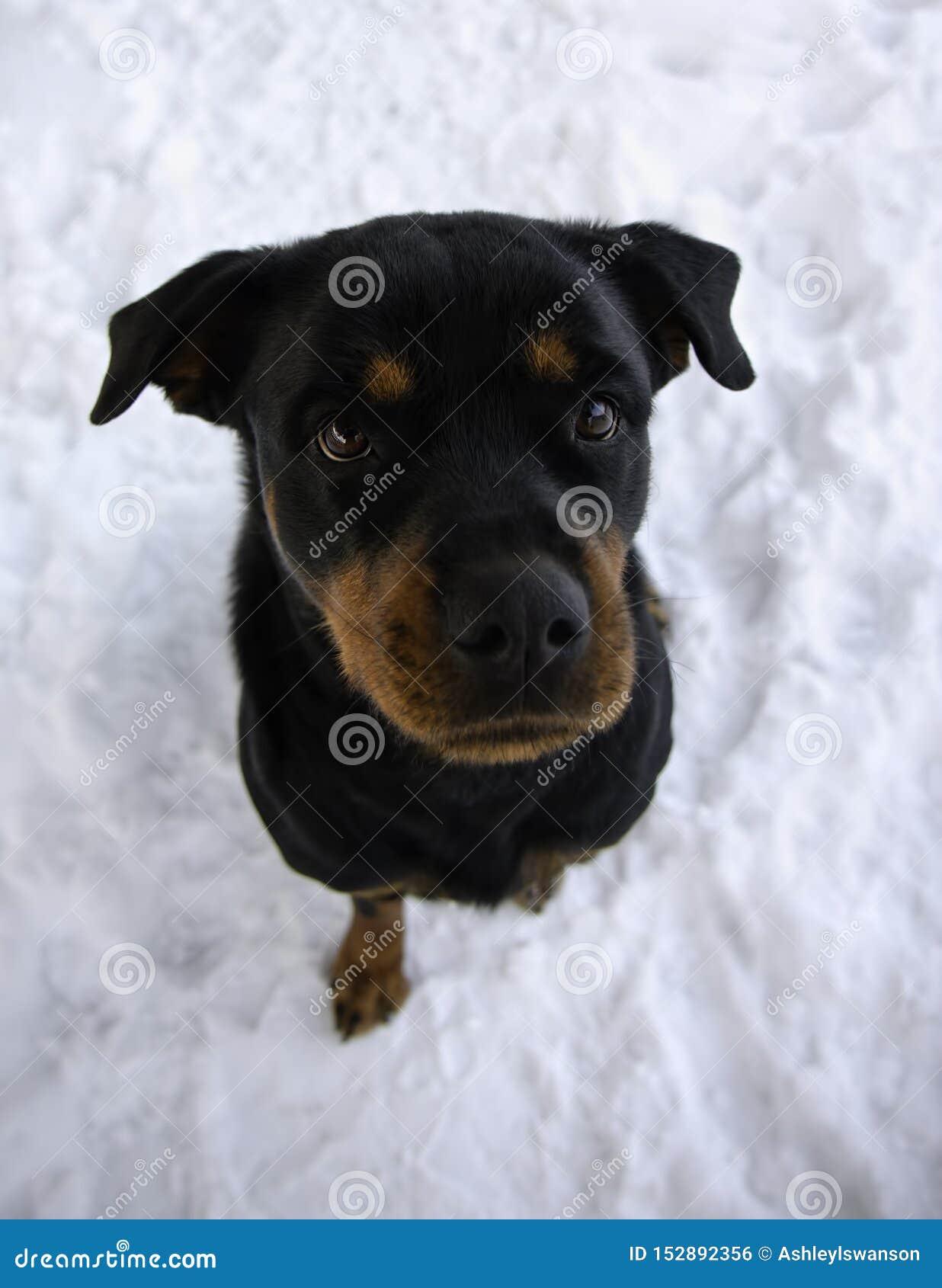 Rottweiler que senta-se na neve no inverno que olha acima
