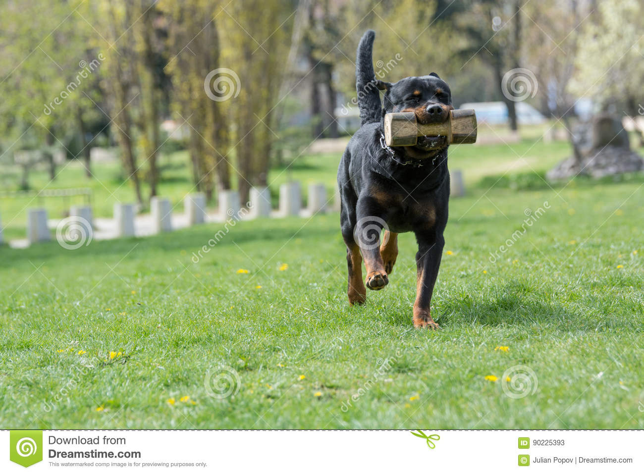 Rottweiler Running On The Grass Stock Image Image Of Fighter