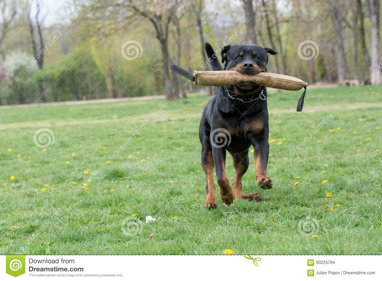 Rottweiler Running On The Grass Stock Photo Image Of Park Breed