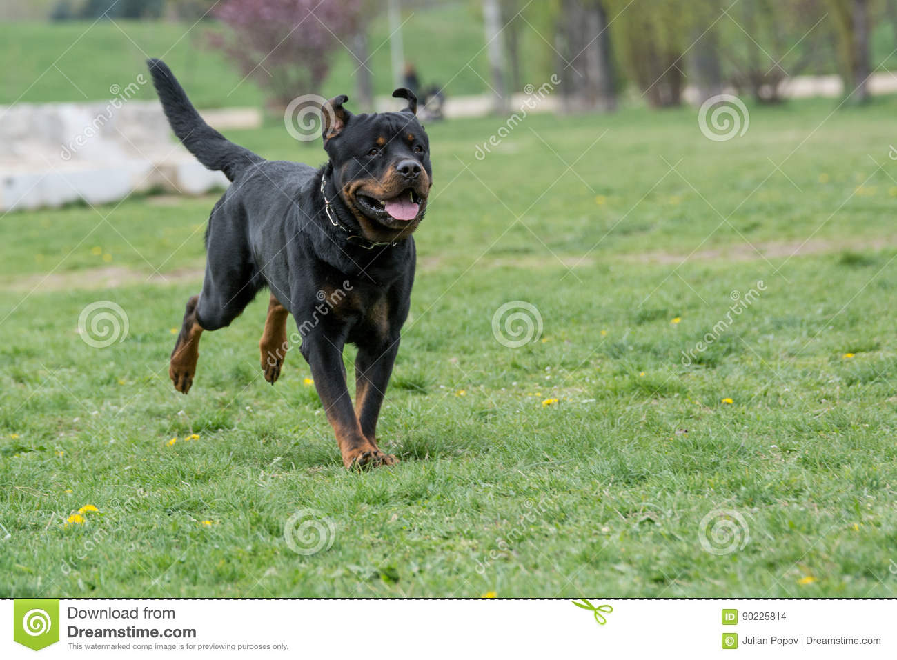 Rottweiler Running On The Grass Stock Photo Image Of Dangerous