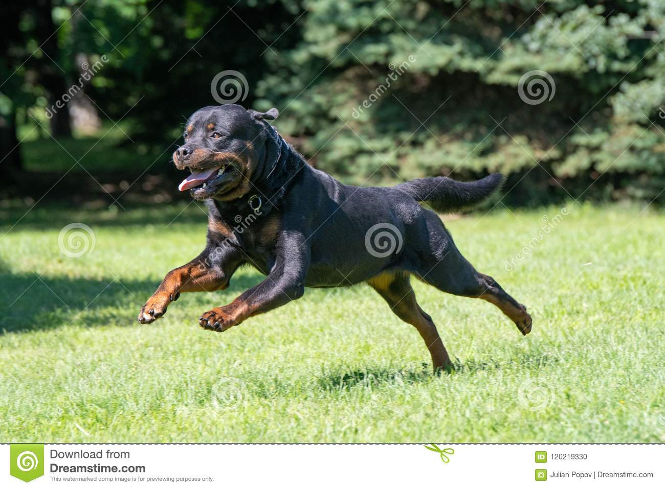 Rottweiler Running On The Grass Selective Focus On The Dog Stock