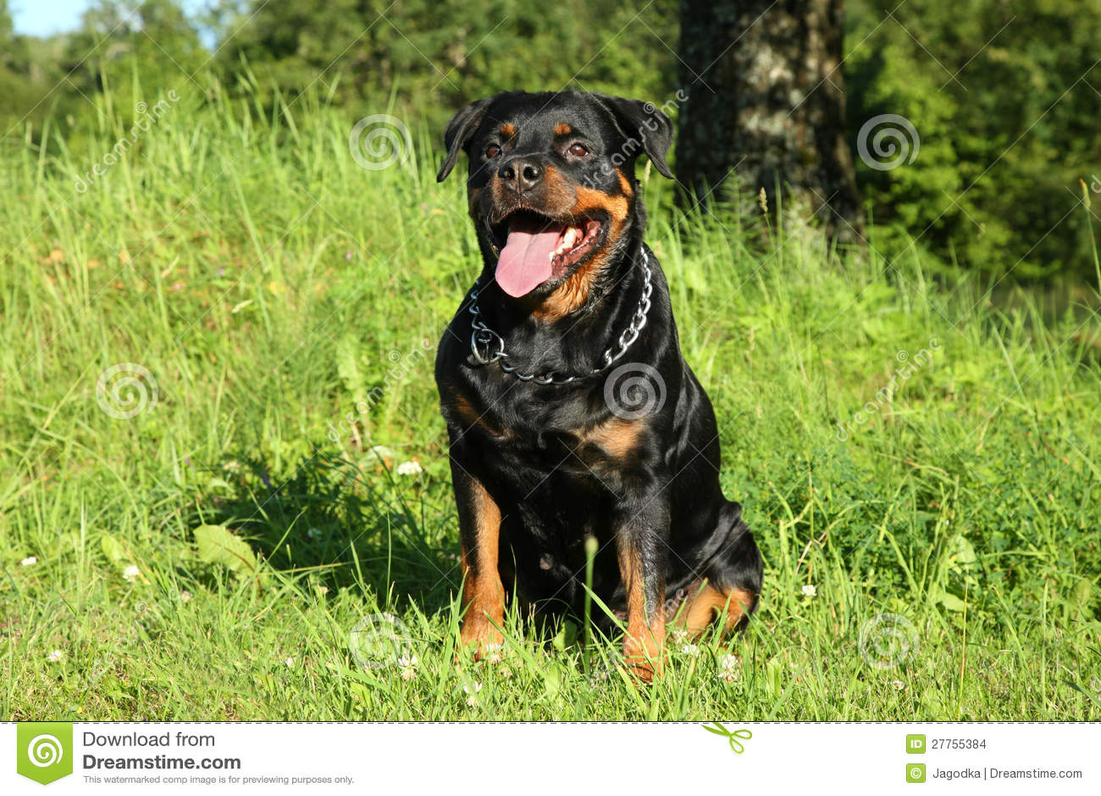 Rottweiler se repose sur l herbe verte